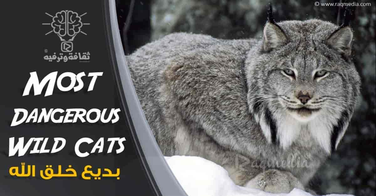 أشرس-وأخطر-أنواع-القطط-الكبيرة