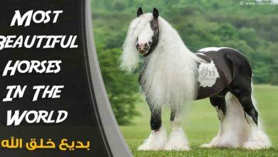 أجمل-خيول-العالم